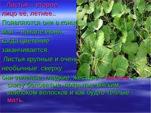 Листья – второе лицо её, летнее.. Появляются они в конце мая – начале июня,