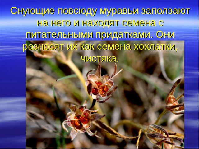 Снующие повсюду муравьи заползают на него и находят семена с питательными при...