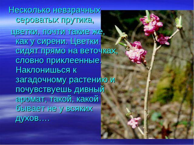 Несколько невзрачных сероватых прутика, цветки, почти такие же, как у сирени....