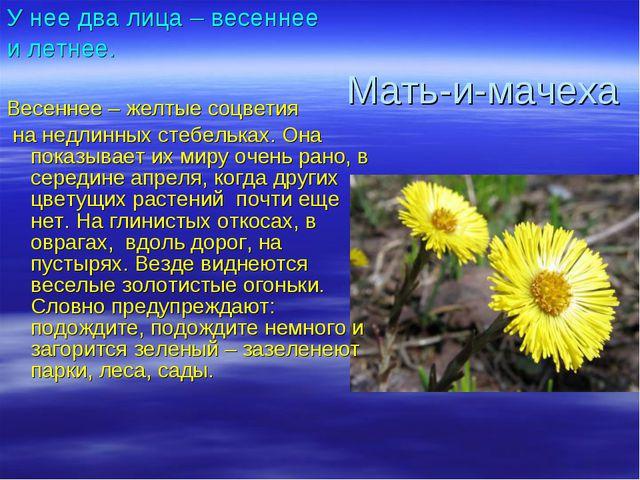 У нее два лица – весеннее и летнее. Весеннее – желтые соцветия на недлинных с...