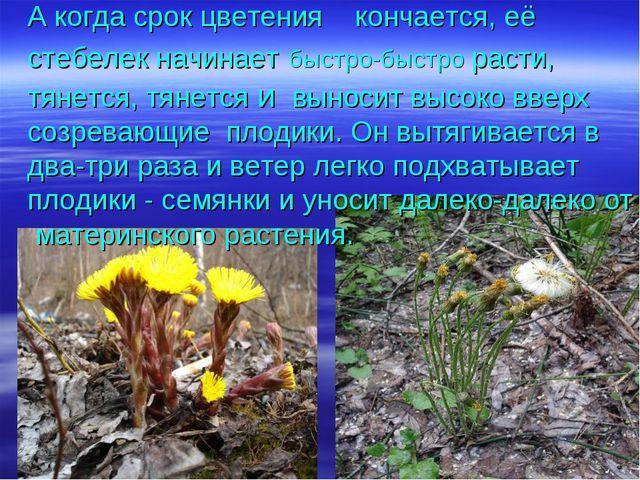 А когда срок цветения кончается, её стебелек начинает быстро-быстро расти, тя...