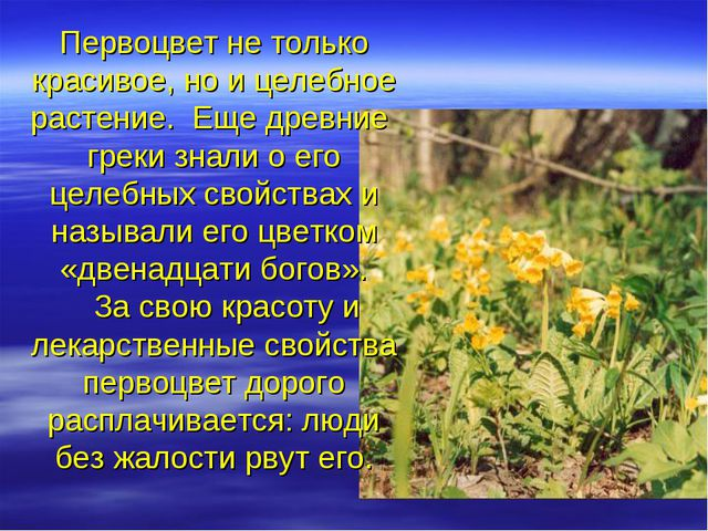 Первоцвет не только красивое, но и целебное растение. Еще древние греки знали...
