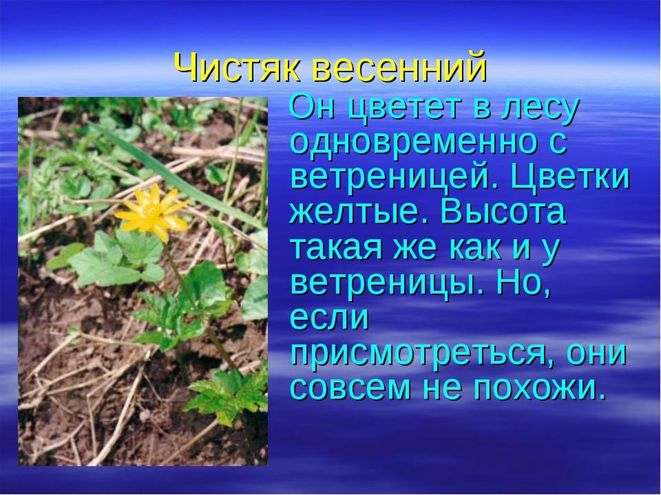 Чистяк весенний Он цветет в лесу одновременно с ветреницей. Цветки желтые. Вы...