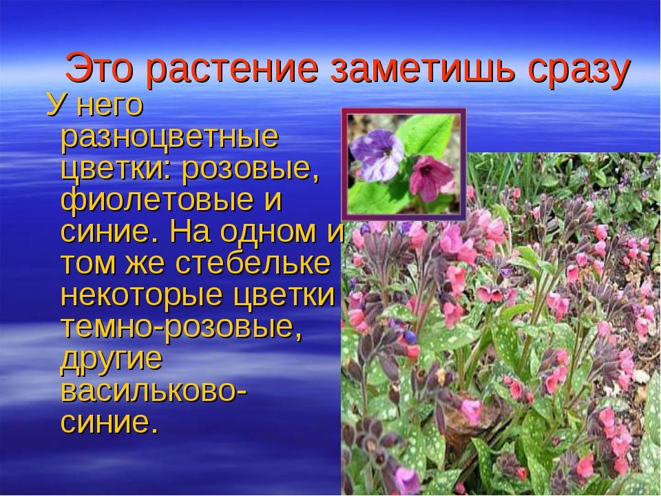 Это растение заметишь сразу У него разноцветные цветки: розовые, фиолетовые и...