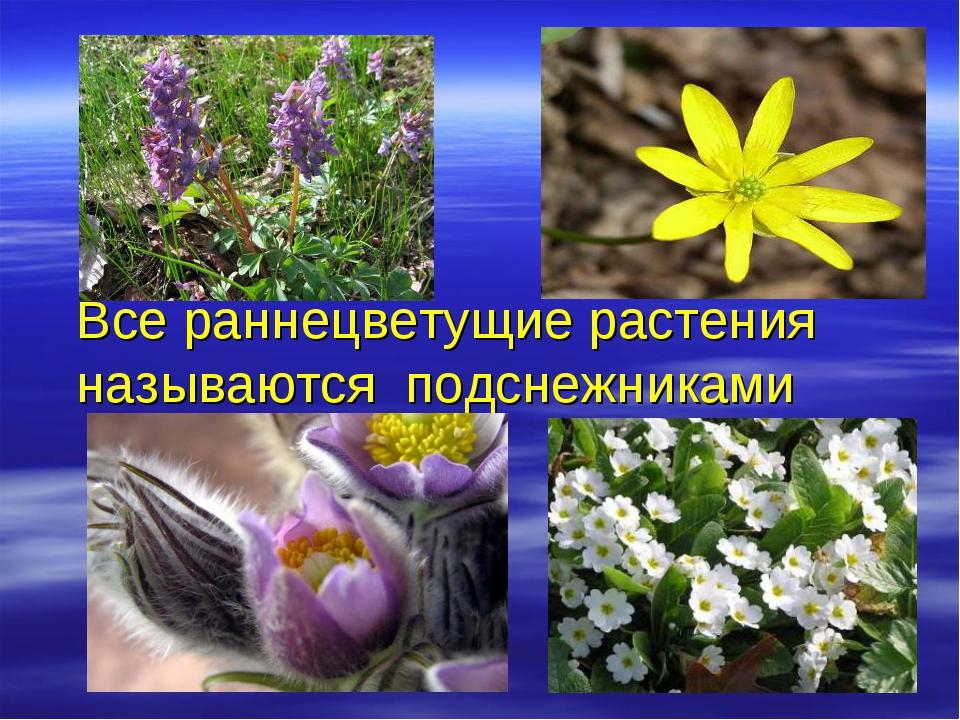 Все раннецветущие растения называются подснежниками