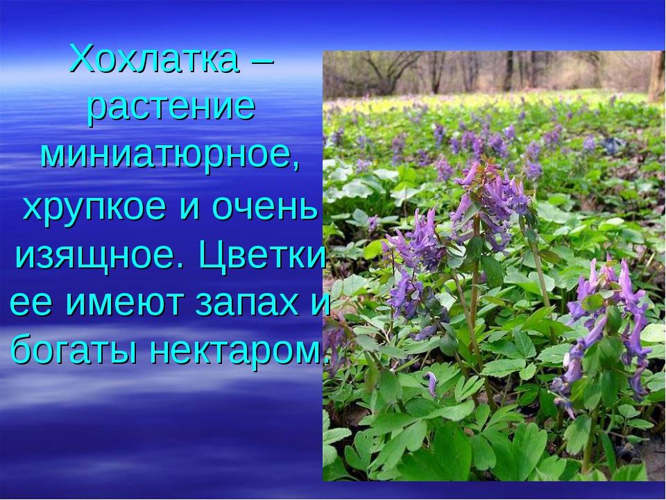 Хохлатка – растение миниатюрное, хрупкое и очень изящное. Цветки ее имеют зап...