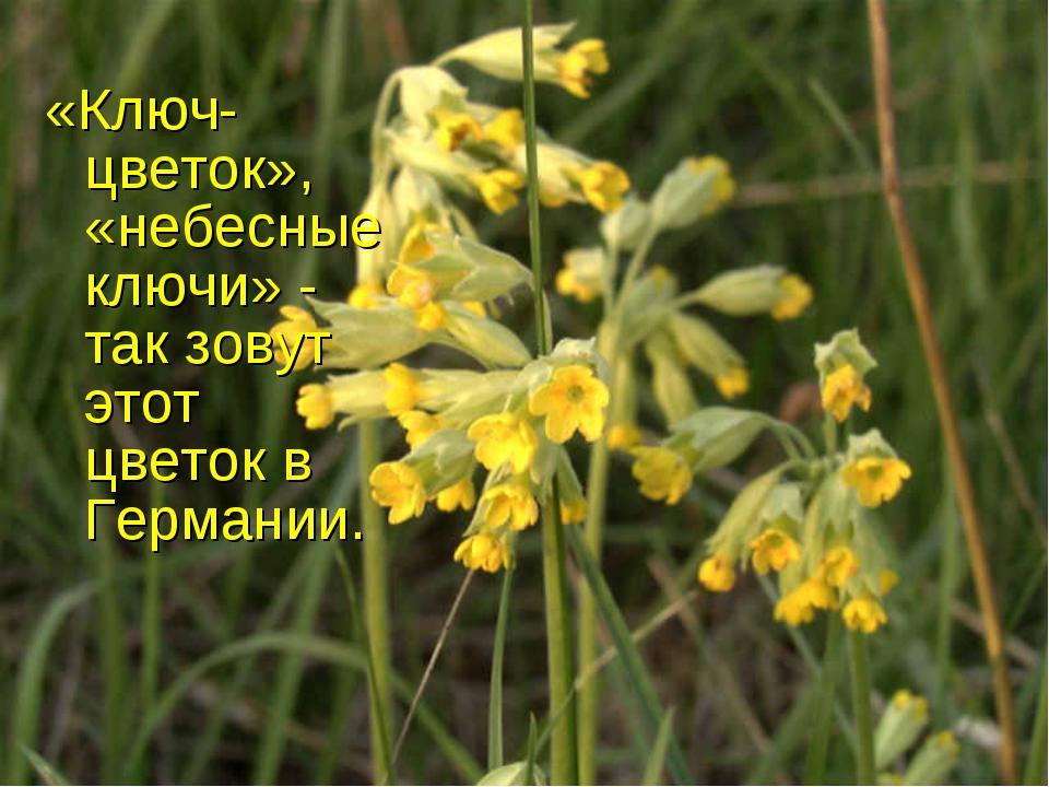 «Ключ-цветок», «небесные ключи» - так зовут этот цветок в Германии.