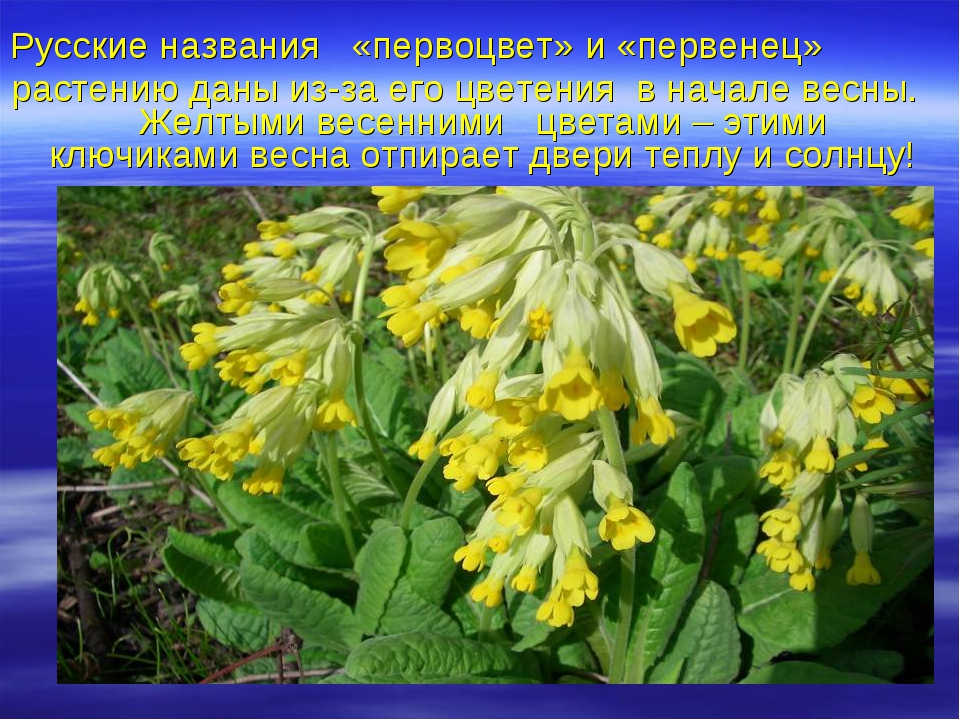 Русские названия «первоцвет» и «первенец» растению даны из-за его цветения в...