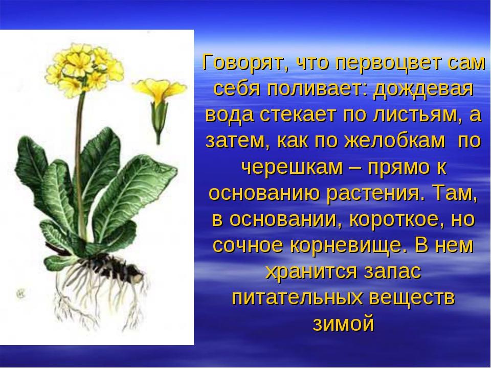 Говорят, что первоцвет сам себя поливает: дождевая вода стекает по листьям, а...
