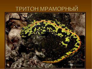 ТРИТОН МРАМОРНЫЙ
