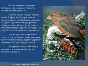 Клеста называют «северным попугаем». Самое вкусное лакомство – семечки хвойн