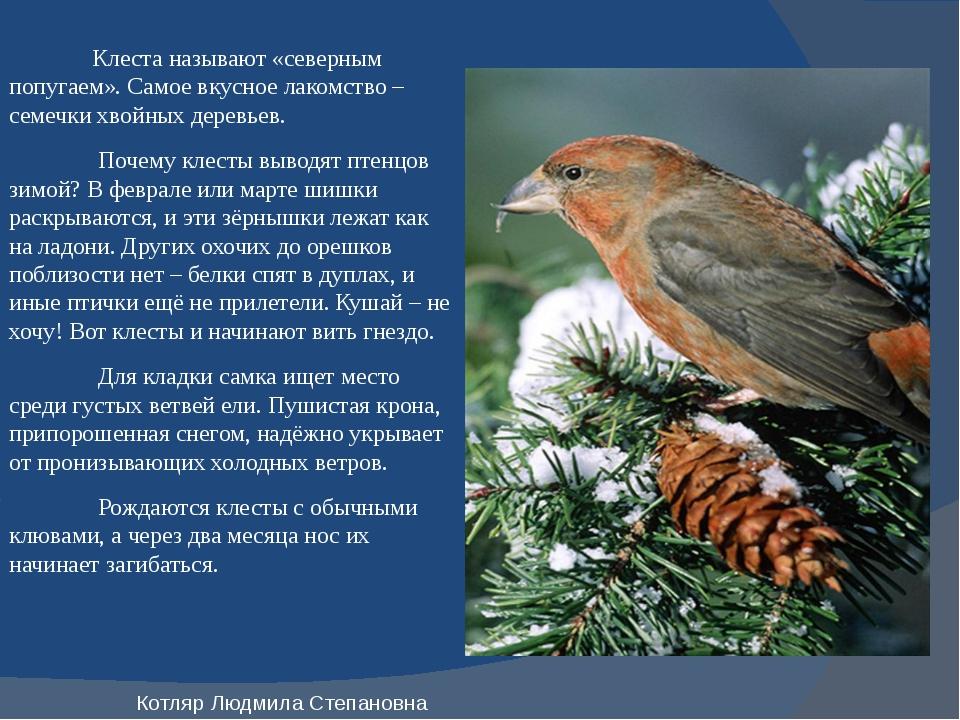 Клеста называют «северным попугаем». Самое вкусное лакомство – семечки хвойн...