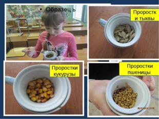 Проростки кукурузы Проростки тыквы Проростки пшеницы Образец ь с