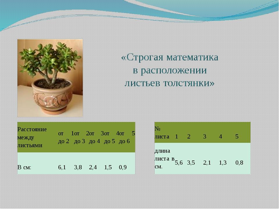 «Строгая математика в расположении листьев толстянки» Расстояние между листья...