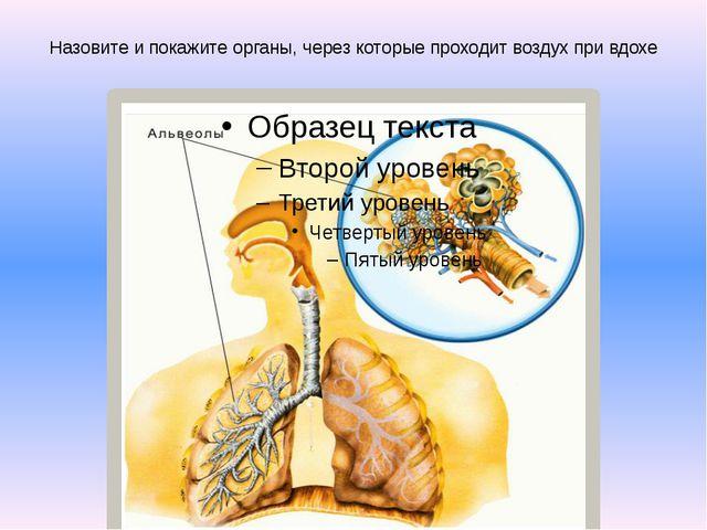 Назовите и покажите органы, через которые проходит воздух при вдохе