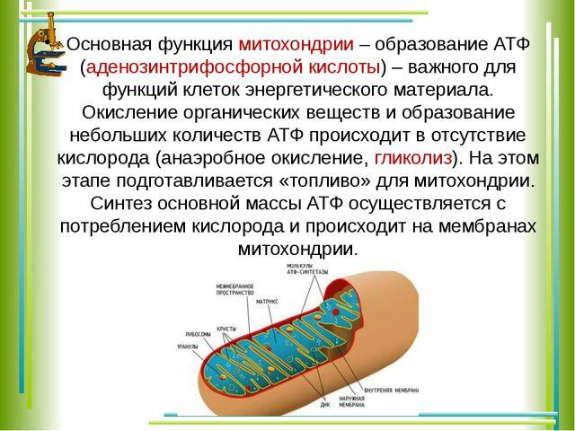 Основная функция митохондрии – образование АТФ (аденозинтрифосфорной кислоты)...