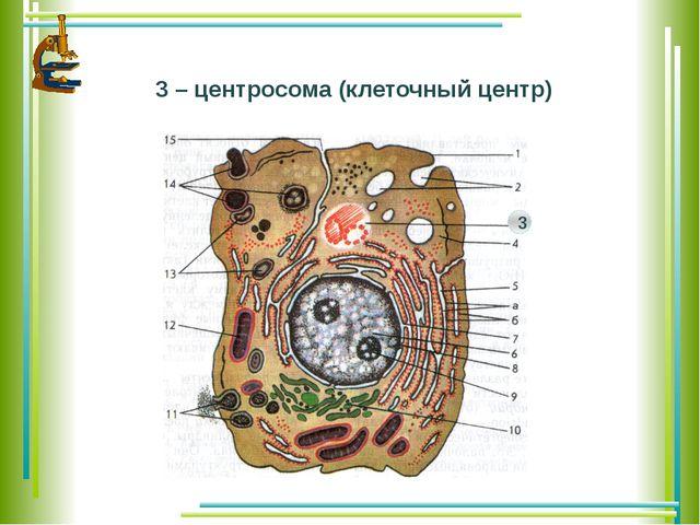 3 – центросома (клеточный центр) 3