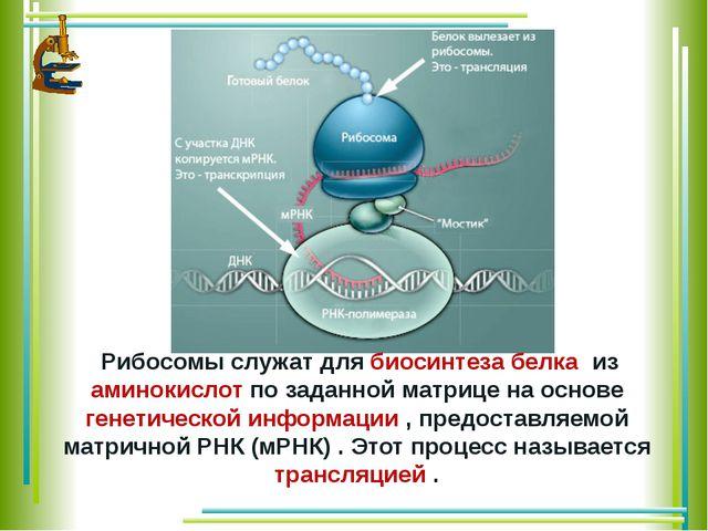 Рибосомы служат длябиосинтеза белка из аминокислотпо заданной матрице на...