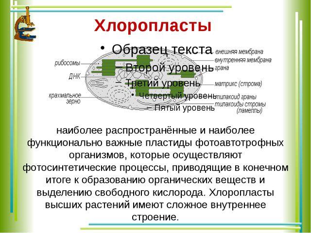 Хлоропласты наиболее распространённые и наиболее функционально важные пласти...