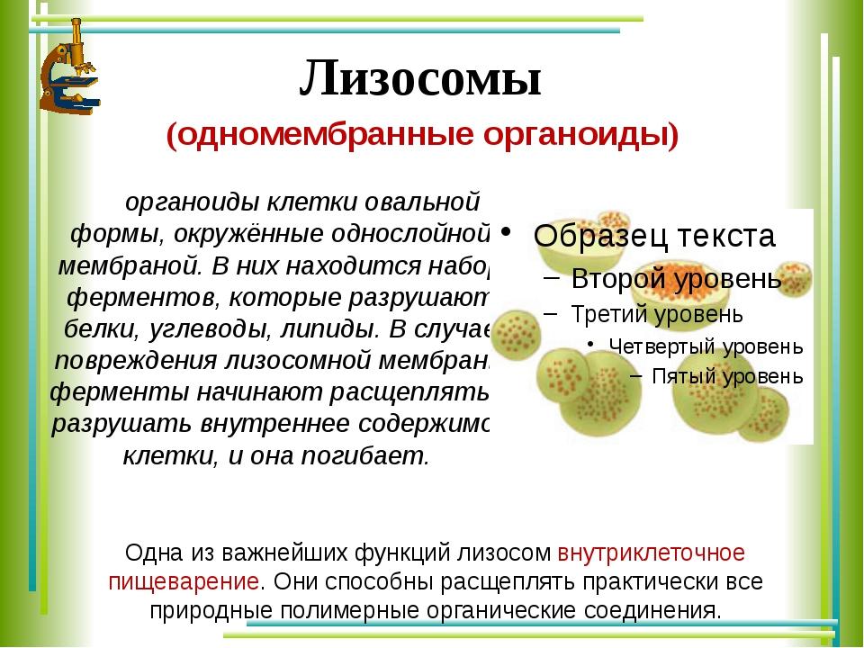 Лизосомы (одномембранные органоиды) органоиды клетки овальной формы, окружён...