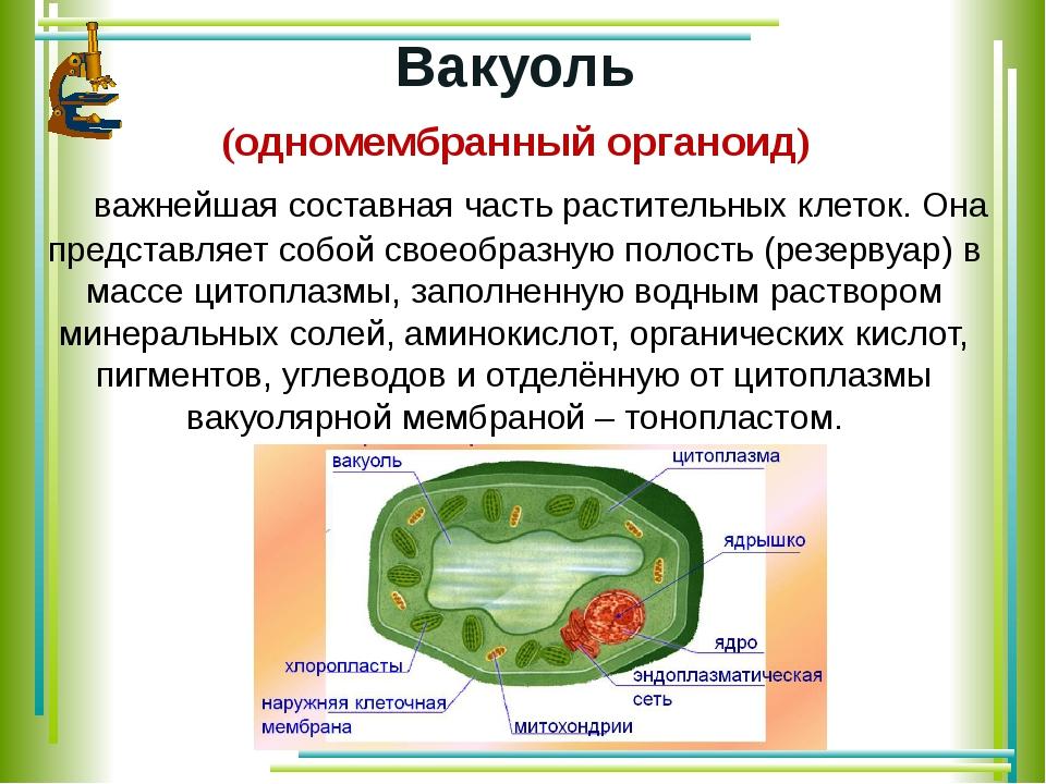 Вакуоль (одномембранный органоид) важнейшая составная часть растительных кле...