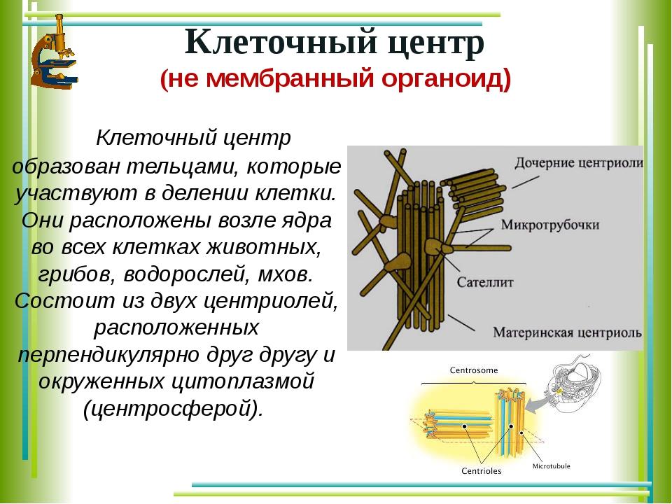 Клеточный центр образован тельцами, которые участвуют в делении клетки. Они...