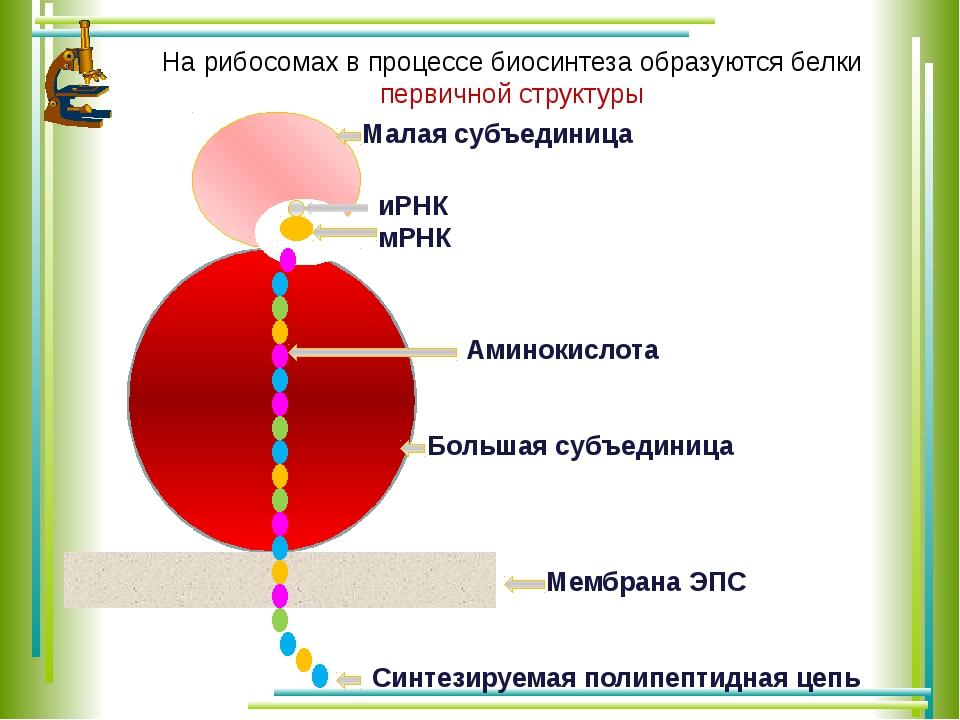 Малая субъединица Большая субъединица иРНК мРНК Мембрана ЭПС Синтезируемая п...