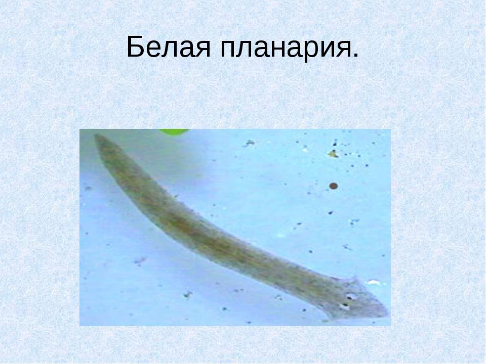 Белая планария.