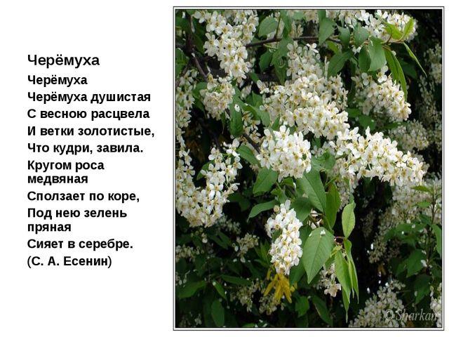 Черёмуха Черёмуха Черёмуха душистая С весною расцвела И ветки золотистые, Что...