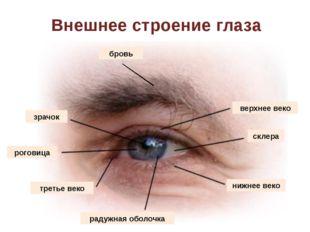 Внешнее строение глаза бровь верхнее веко склера нижнее веко радужная оболочк