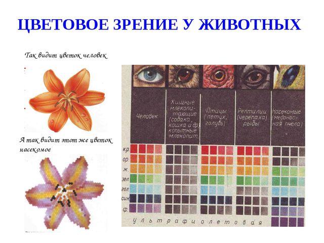 Так видит цветок человек А так видит этот же цветок насекомое ЦВЕТОВОЕ ЗРЕНИЕ...