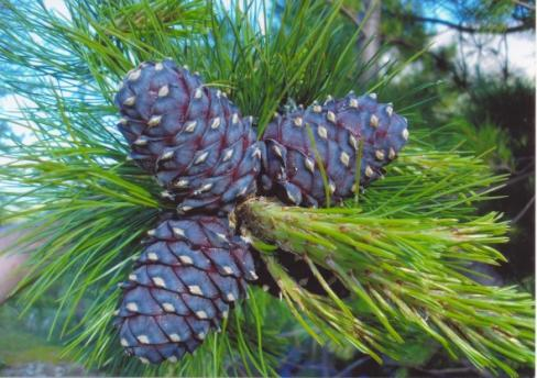 http://upload.wikimedia.org/wikipedia/commons/b/be/Pinus_sibirica_Urals1.jpg?uselang=ru