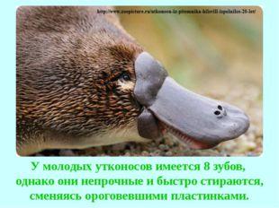 У молодых утконосов имеется 8 зубов, однако они непрочные и быстро стираются,