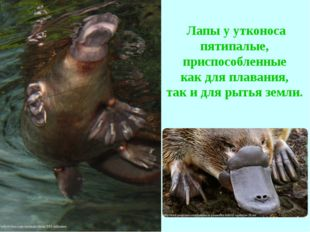 Лапы у утконоса пятипалые, приспособленные как для плавания, так и для рытья