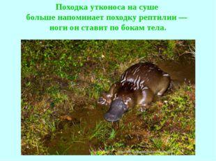 Походка утконоса на суше больше напоминает походку рептилии — ноги он ставит