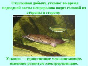 Отыскивая добычу, утконос во время подводной охоты непрерывно водит головой