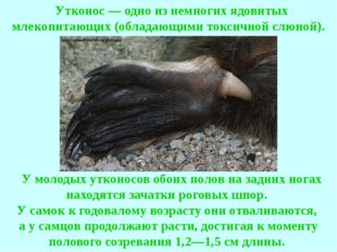 Утконос — одно из немногих ядовитых млекопитающих (обладающими токсичной сл