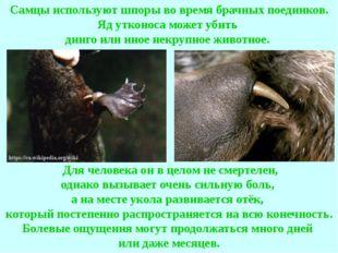 Самцы используют шпоры во время брачных поединков. Яд утконоса может убить ди