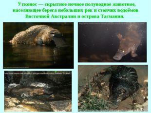 Утконос — скрытное ночное полуводное животное, населяющее берега небольших