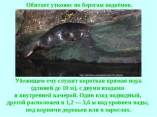 Обитает утконос по берегам водоёмов. Убежищем ему служит короткая прямая н