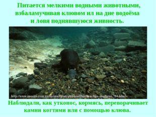 Питается мелкими водными животными, взбаламучивая клювом ил на дне водоёма и