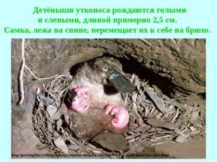 Детёныши утконоса рождаются голыми и слепыми, длиной примерно 2,5 см. Самка