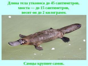 Длина тела утконоса до 45 сантиметров, хвоста — до 15 сантиметров, весит он д