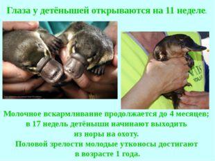 Молочное вскармливание продолжается до 4 месяцев; в 17 недель детёныши начина