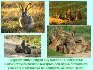 Определенный ущерб ему нанесли и завезённые колонистами кролики, которые, роя