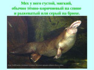 Мех у него густой, мягкий, обычно тёмно-коричневый на спине и рыжеватый или с
