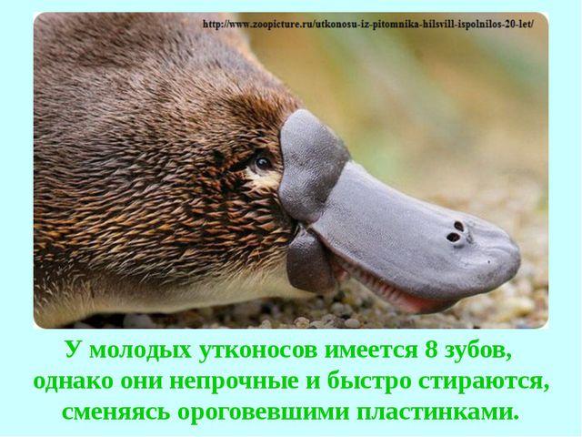 У молодых утконосов имеется 8 зубов, однако они непрочные и быстро стираются,...