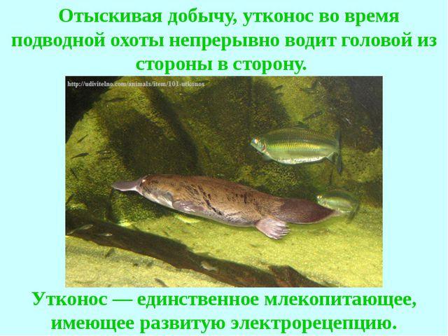 Отыскивая добычу, утконос во время подводной охоты непрерывно водит головой...