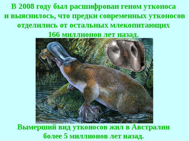 Вымерший вид утконосов жил в Австралии более 5 миллионов лет назад. В 2008 го...