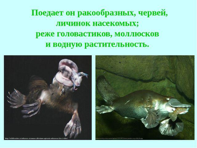 Поедает он ракообразных, червей, личинок насекомых; реже головастиков, молл...